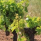 chatzigeorgiou-wines-from-limnos-28